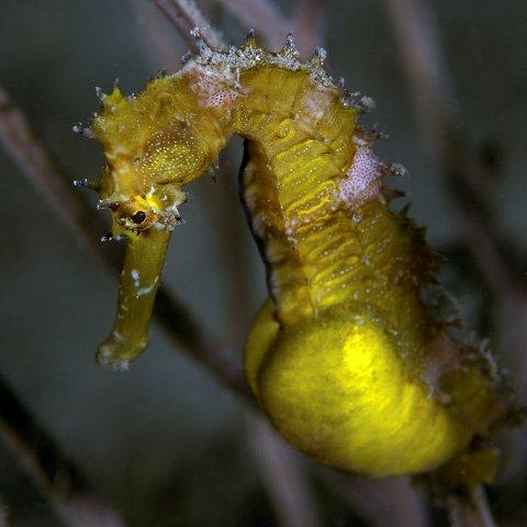Pregnant Sea Horse in Timor Leste