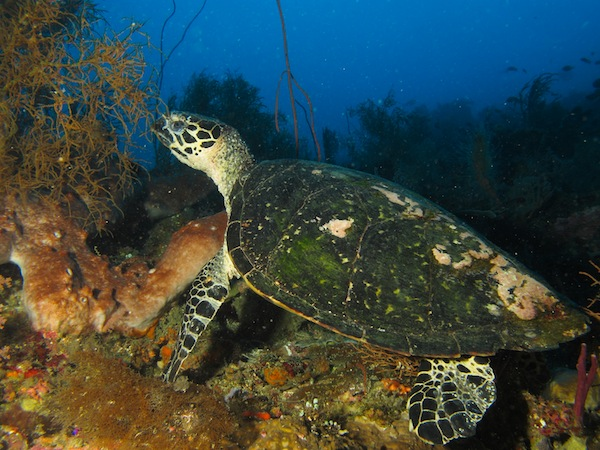 Snorkeling with Turtle in East Timor