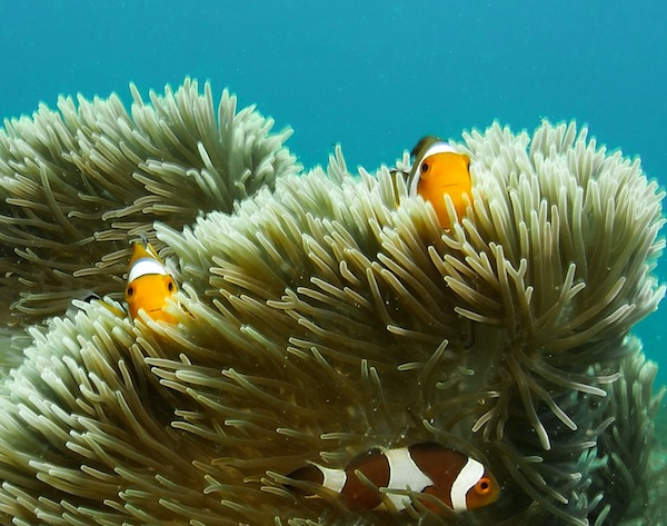 Snorkel with Clown Fish