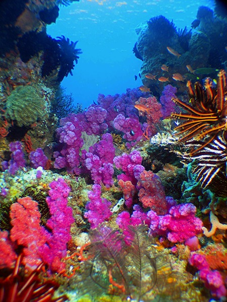 Scuba diving in East Timor corals on coast dives