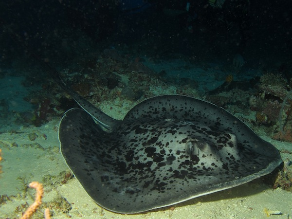 Marbled Stingray at Timor Dive Site