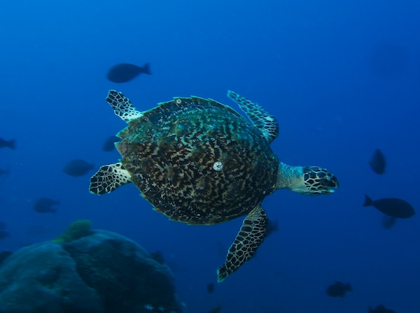Diving with Turtle in Timor Leste