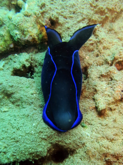 Philinopsis-gardineri-e1528780587755