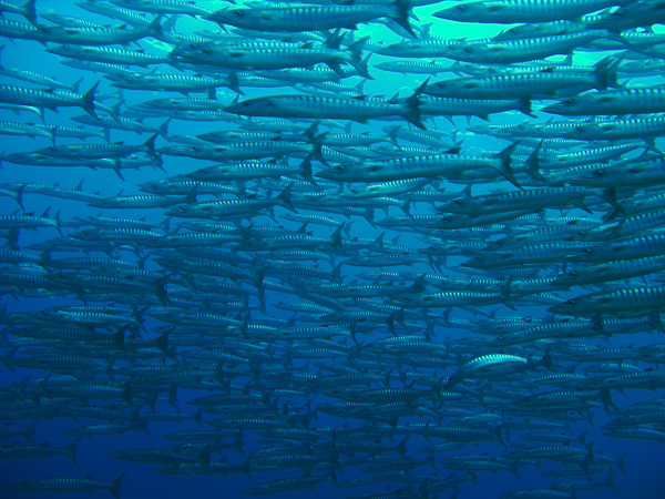 Amazing School of Barracudas in Pinnacle, just a few minutes from Dive Timor Lorosae!