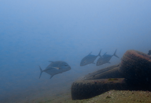 Big fishes around the artificial reef