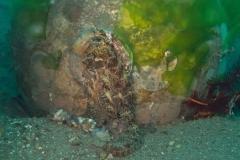 AlgaeOctopus.AbdopusAculeatus.Lacasa