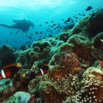 Scuba divers and clown fish in Lone tree Timor Leste