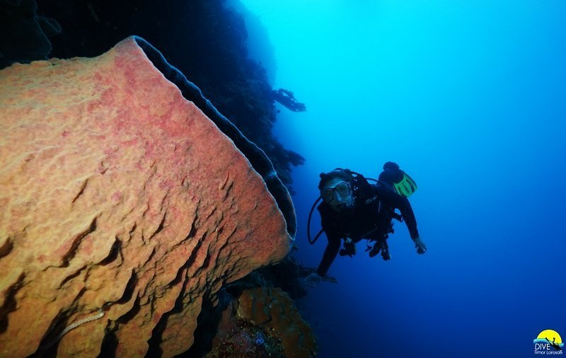 Diver inspects beautiful barrel sponge in Timor Leste