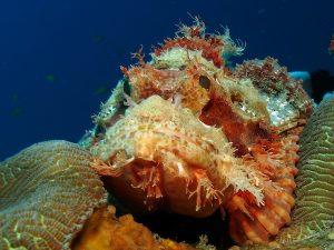 Scorpionfish bobs rock timor leste