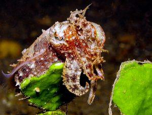 cuttlefish dili rock east timor leste
