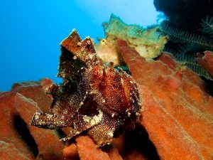 Leaf scorpionfish macro photography K41 Timor Leste