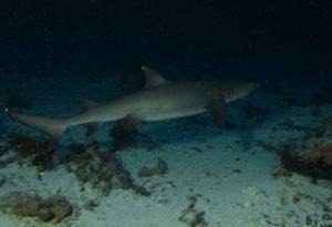 Reef shark K41 Timor Leste