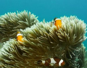 Finding nemo Lone tree dive site Timor Leste
