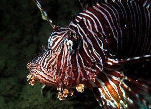 Lionfish Lone tree dive site Timor Leste