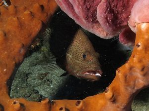 groupers at one tree Timor Leste