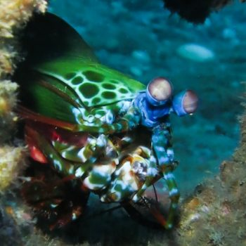 super cool photo of the amazing mantis shrimp peacock and its great colors on some of the best muck dives while diving with Dive Timor Lorosae, photo taken by Francisco Mesina