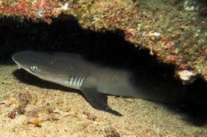 white tip reef shark the pinnacle Timor Leste