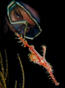 Ornate ghost pipefish artificial reef timor leste