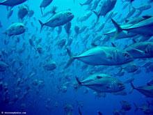 Shark fin atauro island timor leste