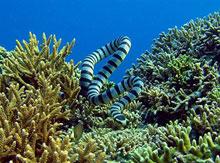 Banded sea krait Inner Reef Atauro Island Blue Timor
