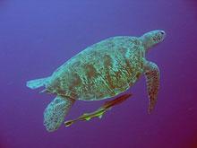 Turtle Inner Reef Timor Leste Blue Timor