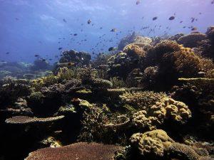 Outer reef hammerheads Timor Leste
