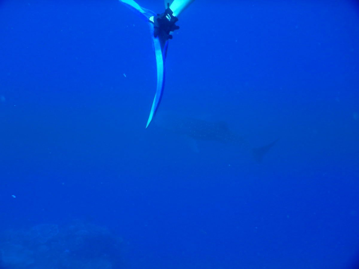 Whale Shark at Atauro Island
