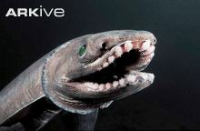 Shark of the Month – Frilled Shark