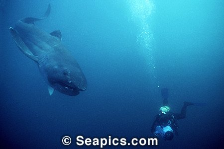 shark of the month megamouth shark dive timor lorosae