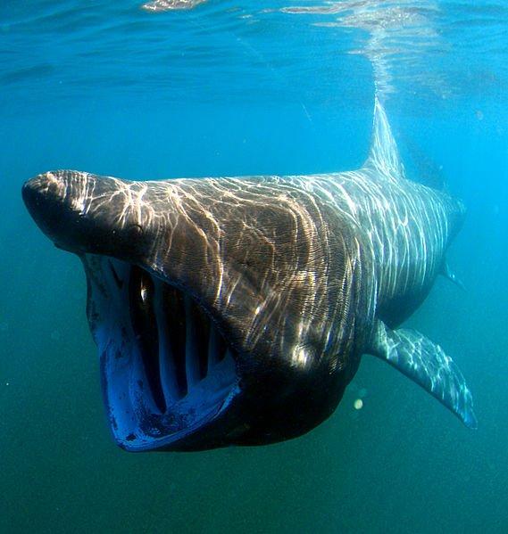 Shark of the Month – Basking Shark
