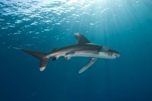 Shark of the Month – Oceanic Whitetip