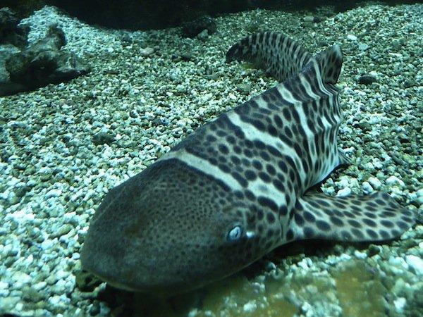 Shark of the Month – Zebra (Leopard) Shark