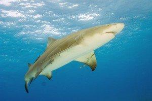 Shark of the Month – Lemon Shark