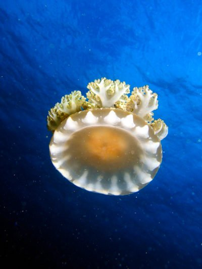 Feel Safe to Dive in Timor as there are Non Letal Jellyfish.