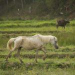 skinny horse crossing paddyfields in timor leste