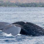 blue whale in timor leste