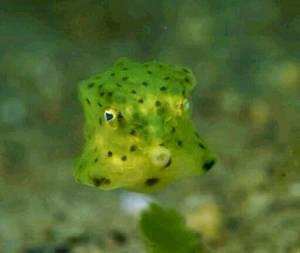 Juvenile yellow boxfish pufferfish timor leste
