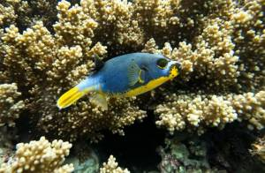Yellowbellied pufferfish diving Timor Leste