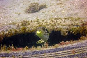 Striped pufferfish the jetty Diving East Timor