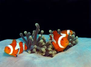 Finding Nemo in Timor Leste