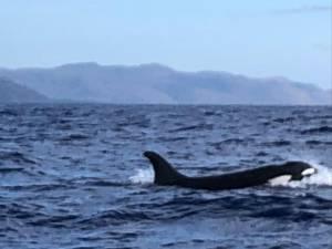 Orcas east timor