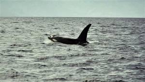 Orcas timor leste